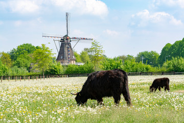 Printed roller blinds Grocery Countryside landscape with black scottish cow, pasture with wild flowers and traditional Dutch wind mill