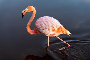 In de dag Flamingo Caribean (American) flamingo in the lagoons of Puerto Villamil of Isabela Island, Galapagos.
