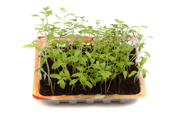 tomato seedlings in plactic box on white background