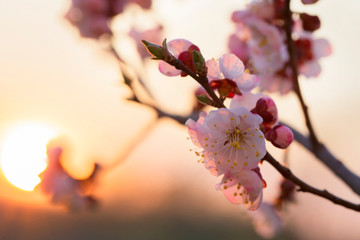 Spring background of cherry blossoms at sunset.Beautiful nature scene with blooming tree and sun flare. Easter Sunny day. Spring flowers.Blooming tree at sunset