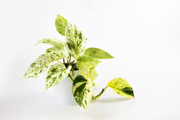 Scindapsus pictus plant in flower pot isolated on white