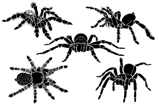 Graphical collection of tarantula isolated on white,vector spiders , tattoo,printing