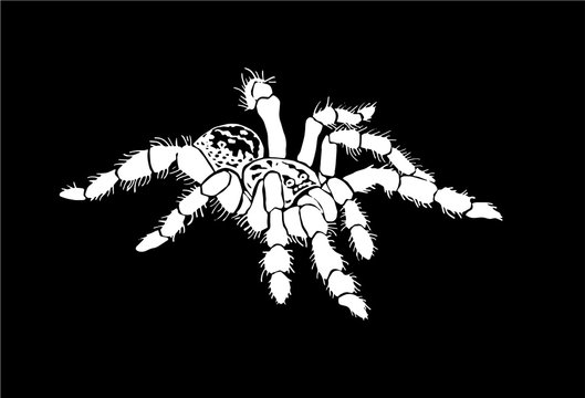 Graphical spider, sketch of tarantula isolated on black background,vector