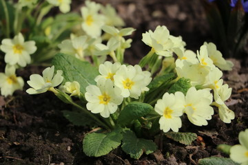 Primula vulgaris blooming in the garden in spring