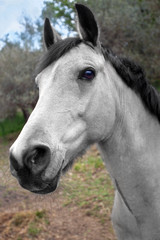 Portrait of a white (gray) horse standing outside