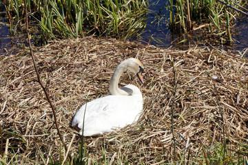 Höckerschwan (Cygnus olor), auf dem Nest, brütend