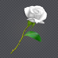 Beautiful white rose on long stem with leaf and thorns isolated on dark background, decoration for your design, photo realistic vector illustration.