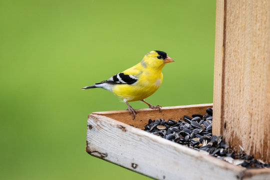 Gold Finch at feeder filled with sunflower seeds
