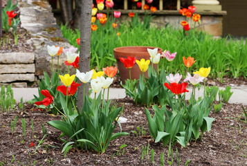 Beautiful spring time nature background with tulips. Scenic view with bright colorful tulips on a front yard of private house. Seasonal house outdoor decoration.