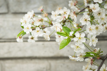 Spring background. Spring white blossoms. Flowering tree branch against the soft wall. Copyspace