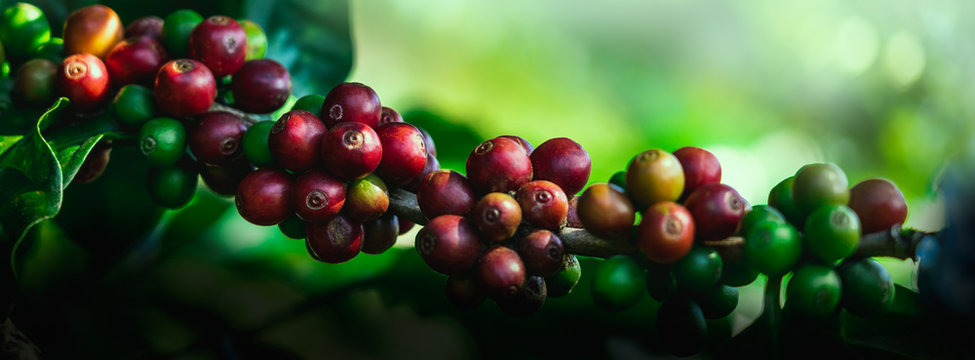 Coffee beans on tree at the mountain in farm northern Thailand.