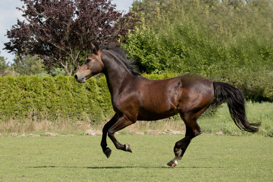 New Forest pony running in field