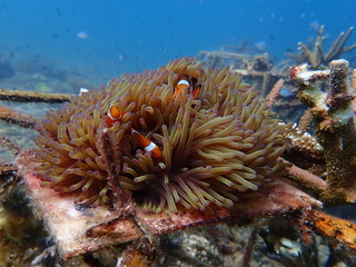Canvas Prints Under water clownfish found at sea anemones at coral reef area at Tioman island, Malaysia