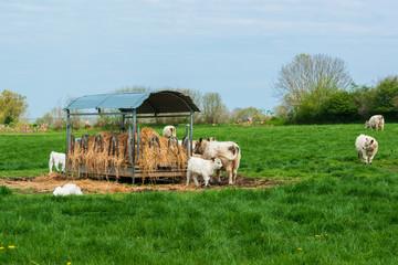 Frei laufernde Charolais Rinder (Bos Taurus) mit Kälbern auf einer Rinderweide in Schleswig-Holstein
