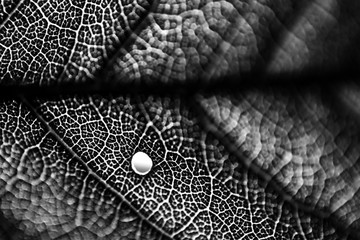 Black and white macro photo of leaf skeleton with a hole