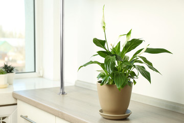 Beautiful Peace lily plant in pot on table near window at home, space for text