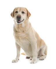 Yellow labrador retriever sitting on white background