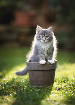 backlit blue tabby maine coon kitten sitting in a plant pot in the garden looking at camera
