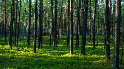 las, lasy, drzewa, drzewo, bory, sosny, jagodniki, jagody, sosna