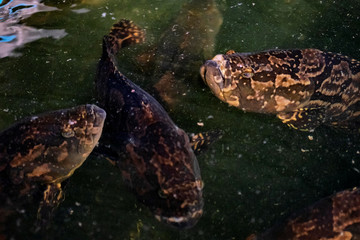 Hybrid groupers are seen inside Apollo Aquaculture Group's three-tiered vertical fish farm in northern Singapore