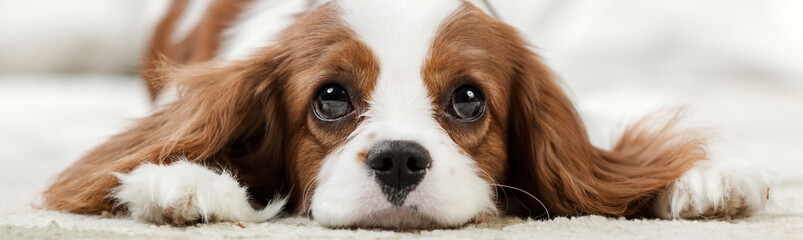Tuinposter Hond Cavalier King Charles Spaniel
