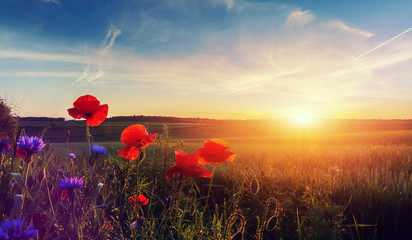 Obraz Wonderful landscape during sunrise. Blooming red poppies on field against the sun, blue sky. Wild flowers in springtime. Beautiful natural landscape in the summertime. Amazing nature Sunny scene. - fototapety do salonu