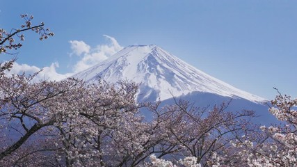 Wall Mural - Fuji mountains and cherry blossoms in spring, Japan.