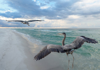 Wall Mural - Great Blue Heron Beach Turf Wars