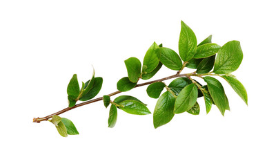 Spring twig with green leaves