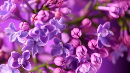 Fotoväggar - Lilac. Blooming violet lilac flowers closeup. Spring scene. Opening flowers time lapse. 4K UHD video footage 3840X2160