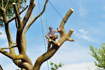 Arborist climbing and dismantling tree with chainsaw. Professional rigging, felling