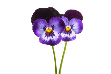 Poster Pansies pansy flower isolated