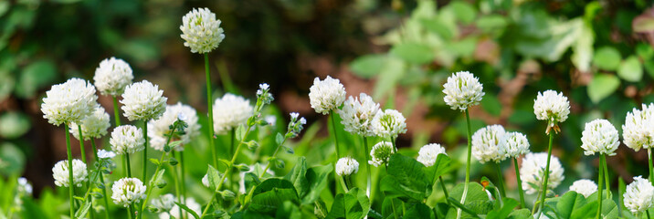 Panorama view of white clover flowers