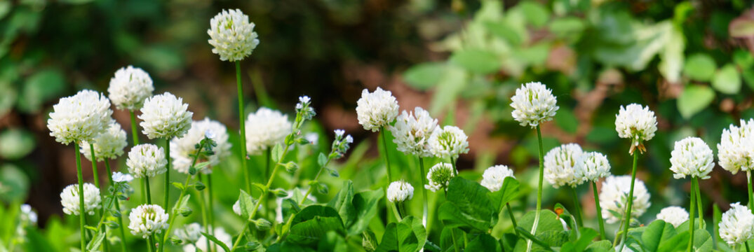 Panoramic view of white clover flowers