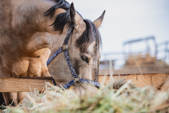 portrait of horse eating hay