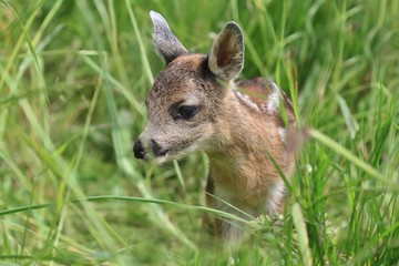 new born deer in the grass. Spring in the nature. Capreolus capreolus. Baby deer.Wildlife scene from nature. Wildlife scene from nature.