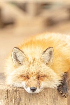 かわいいキツネ 動物・野生生物・赤ちゃん