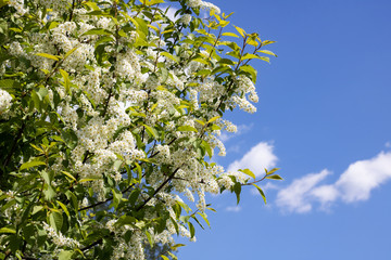 Branches with white flowers of bird cherry close up on the blue sky background
