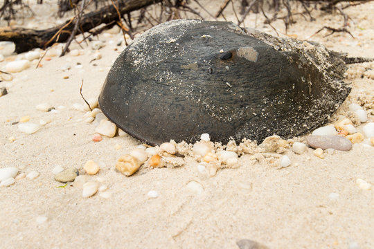 A horseshoe crab on a sandy beach.  Leonardtown, MD, USA.