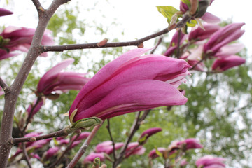 Gently pink buds of Magnolia flowers on the branches of a tree close-up on a spring day