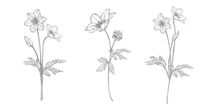 vector floral black and white composition set with anemone flowers