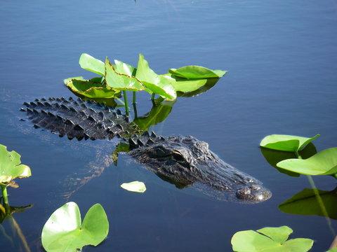 Small alligator swimming in the Florida Everglades