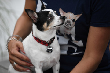 A Chihuahua dog sits on it's owners lap before participating in the 'Running of the Chihuahuas' dog race as part of Cinco de Mayo celebrations in Washington