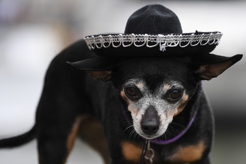 A Chihuahua dog wears a sombrero hat before participating in the 'Running of the Chihuahuas' dog race as part of Cinco de Mayo celebrations in Washington