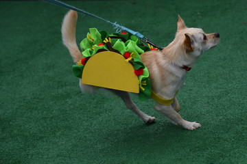 A three legged chihuahua dog dressed as a taco participates during a fancy dressed dog competition during the 'Running of the Chihuahuas' event as part of Cinco de Mayo celebrations in Washington