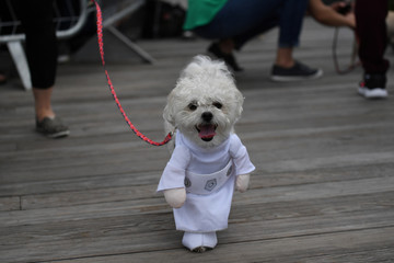 A dog dressed as Princess Leah from Star Wars participates during a fancy dressed dog competition during the 'Running of the Chihuahuas' event as part of Cinco de Mayo celebrations in Washington