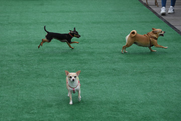 Chihuahua dogs are distracted during a 'Running of the Chihuahuas' dog race as part of Cinco de Mayo celebrations in Washington