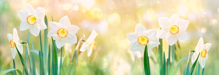 Papiers peints Narcisse beautiful daffodil flower. spring flower narcissus blossoms on nature green background on sunny day. flower spring season Background. banner. soft selective focus.