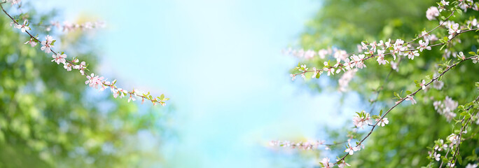 Spring Nature background with cherry flowers. Cherry blossoms on blue sky background. nature scene with blooming tree in Sunny day. Beautiful Panoramic wallpaper banner with copy space. Fototapete