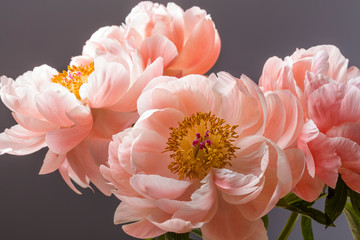 Pink peony flower bouquet close up isolated on a black background